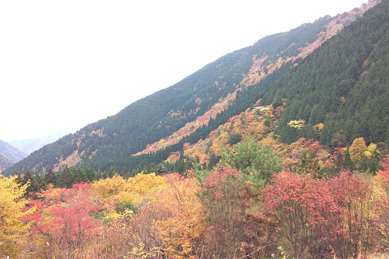 フクベの紅葉